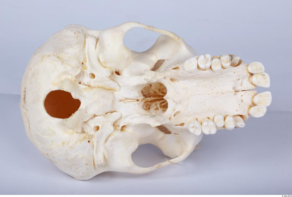 Image from Skull - Chimpanzee photo references - 440371skull_chimpanzee_0037.jpg