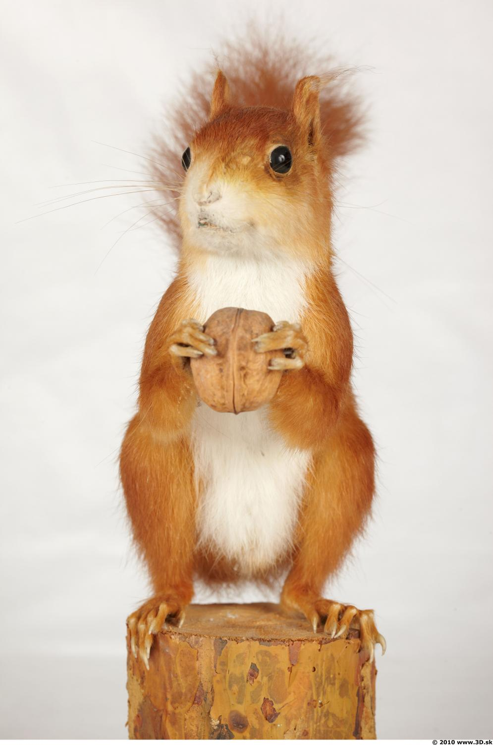 Image from Squirrel photo references - 442655squirrelsciurus_vulgaris_0002.jpg