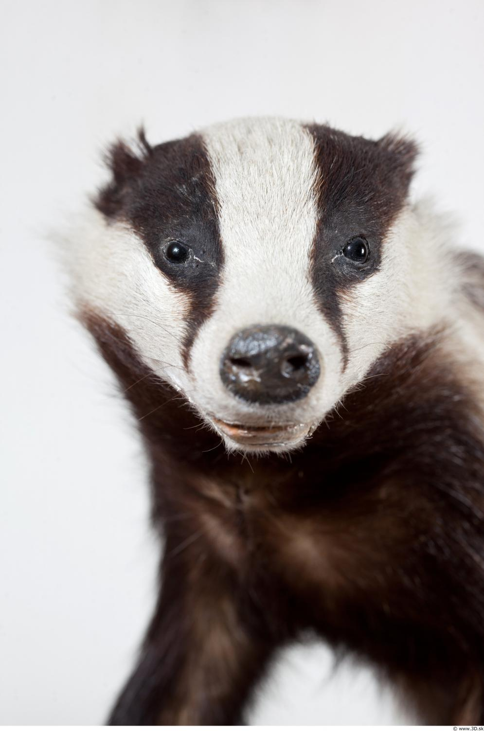 Image from Free Samples / May 2018 - 0161_badger_head_photo_reference_0001.jpg