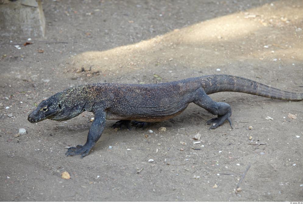 Image from Comodo Animal Photo References - 396313varan_0011.jpg
