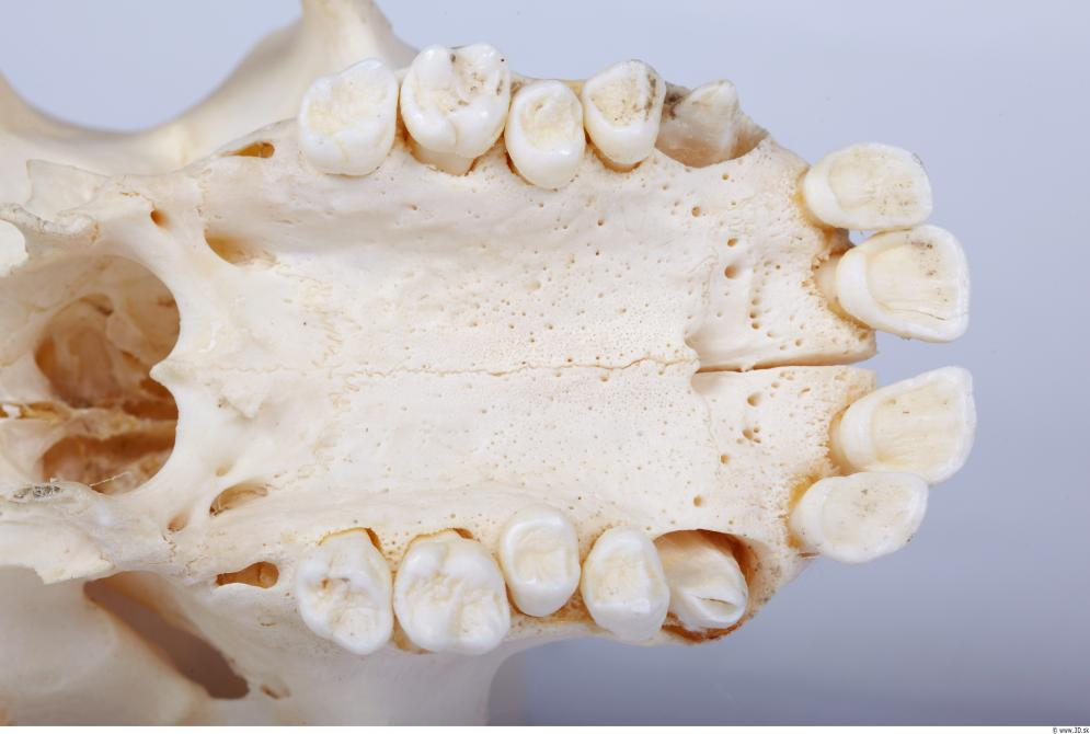 Image from Skull - Chimpanzee photo references - 440376skull_chimpanzee_0042.jpg