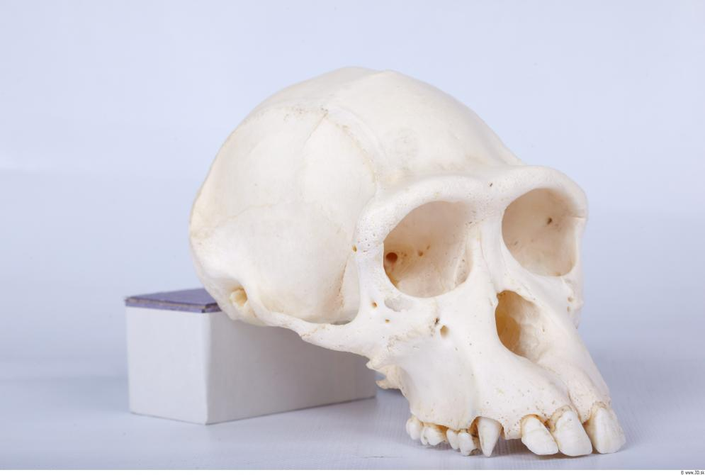Image from Skull - Chimpanzee photo references - 440387skull_chimpanzee_0053.jpg