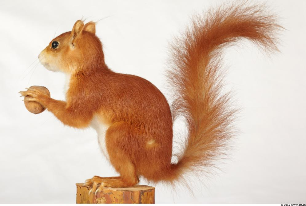 Image from Squirrel photo references - 442658squirrelsciurus_vulgaris_0005.jpg