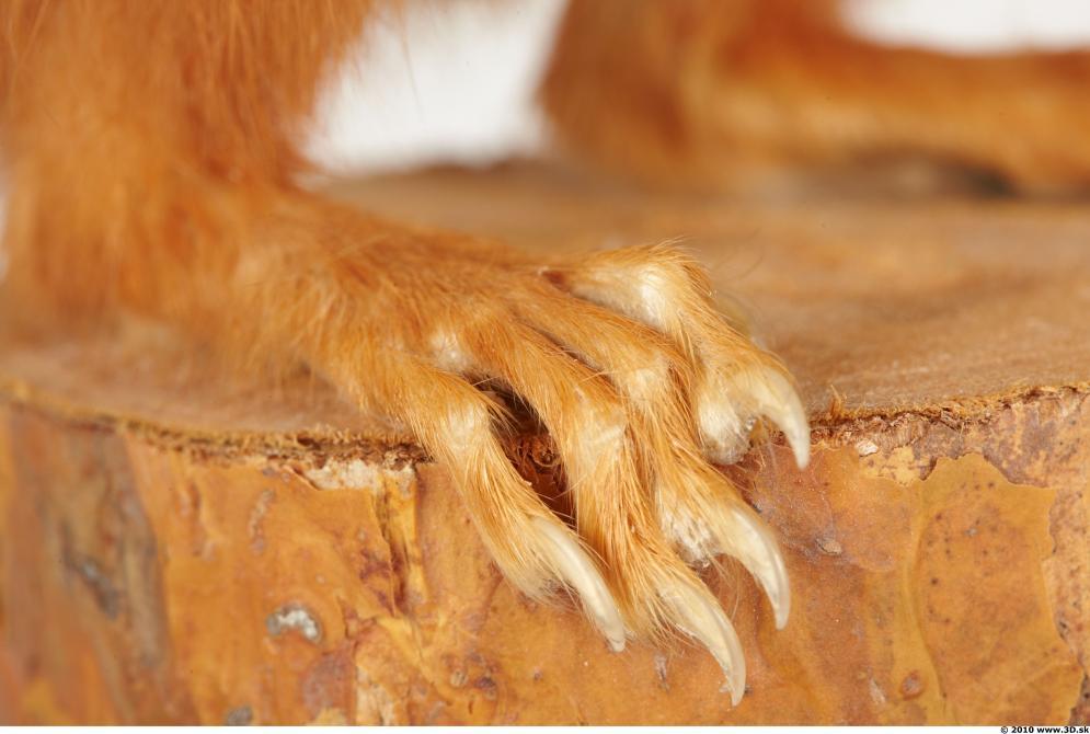 Image from Squirrel photo references - 442712squirrelsciurus_vulgaris_0059.jpg