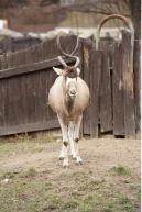 Image from Antelope animal photo references - 272545antelope_0033.jpg